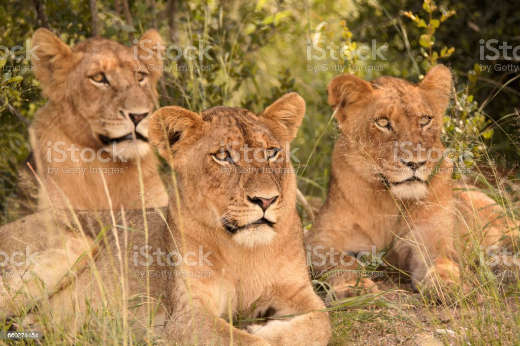 African Lion cub trio stock photo