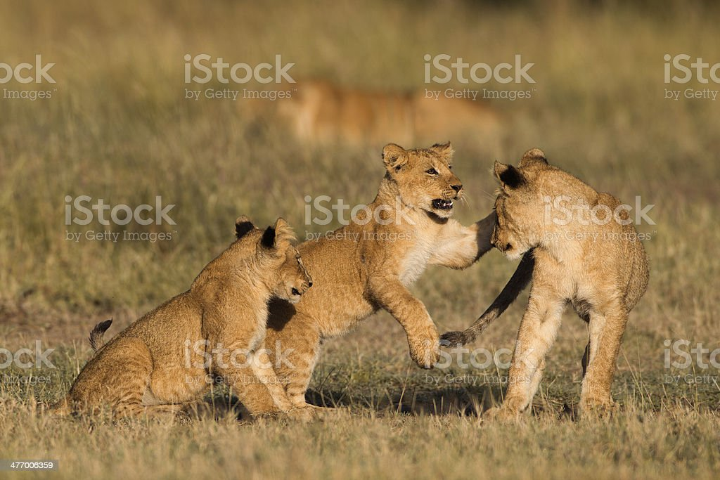 African lion cubs stock photo