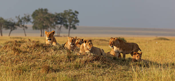 African lion family on watch on a knoll at sunset African lion family on watch on a knoll at sunset, Masai Mara, Kenya, Africa mount combatant stock pictures, royalty-free photos & images