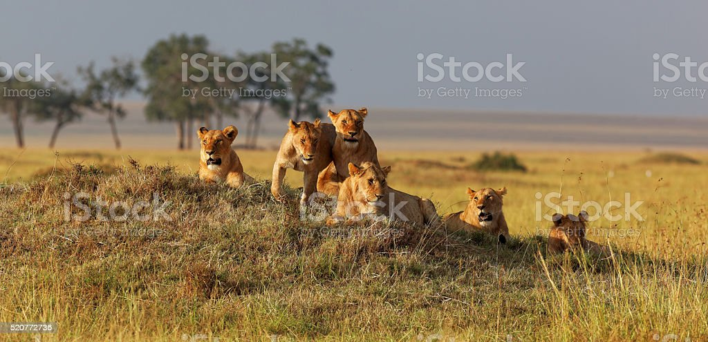 African lion family on watch on a knoll at sunset stock photo