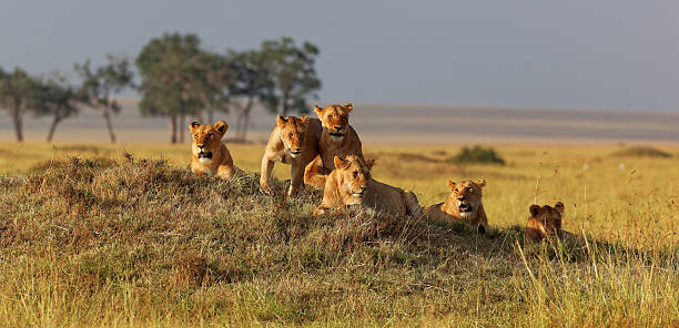 African lion family on watch on a knoll at sunset African lion family on watch on a knoll at sunset, Masai Mara, Kenya, Africa masai mara national reserve stock pictures, royalty-free photos & images