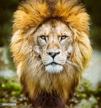 African lion ( Panthera leo ) headshot looking to camera