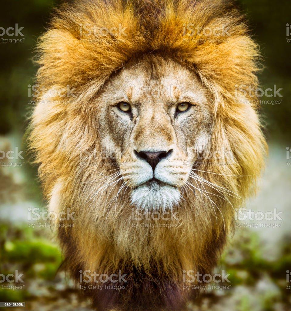 Tête de lion d'Afrique à la recherche d'appareil photo - Photo