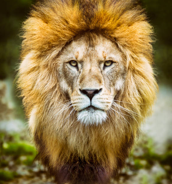 african lion headshot looking to camera - lion stock photos and pictures