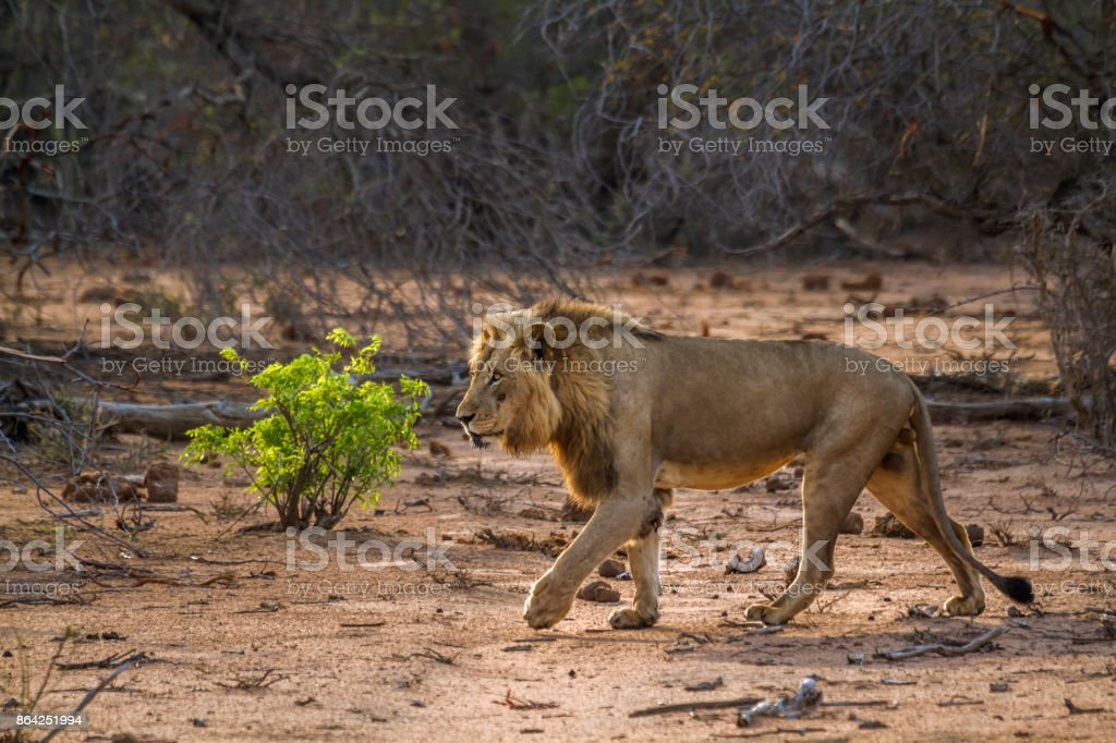 African lion in Kruger National park, South Africa royalty-free stock photo