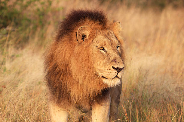 African Lion in Kruger Park, South Africa  transvaal province stock pictures, royalty-free photos & images