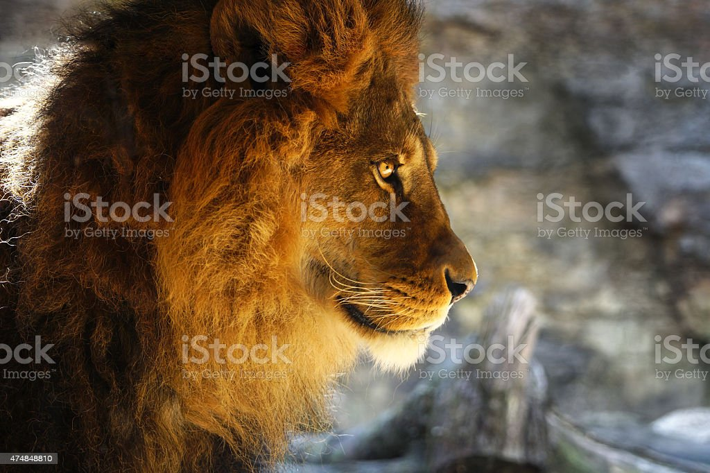 African Lion male closeup with wonderful eyes awesome stock photo