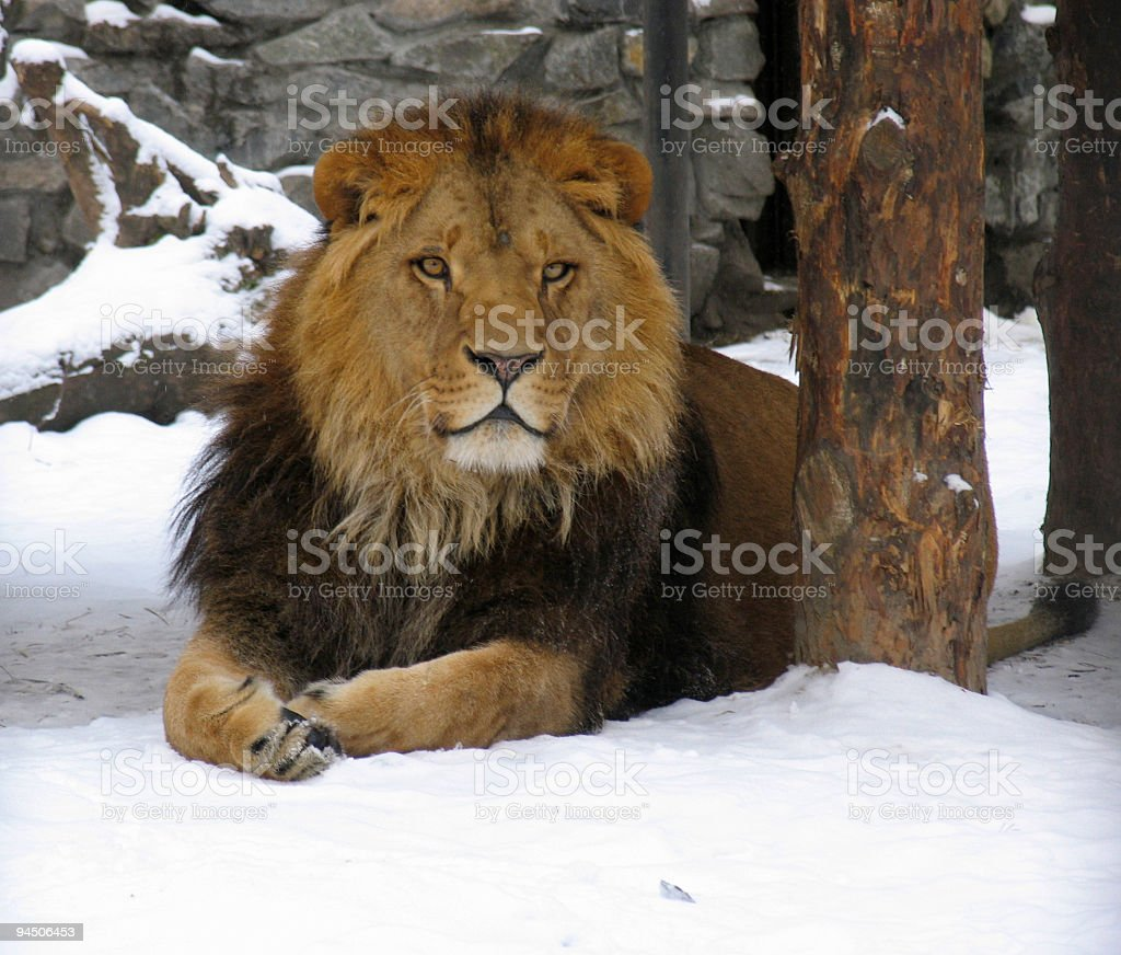 African lion on the snow royalty-free stock photo