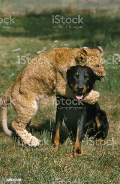 African lion panthera leo captive cub playing with a beauce sheepdog picture id1253996688?b=1&k=6&m=1253996688&s=612x612&h=k6n3 estwrshlim0jlhnckos1sstq6aoouluabj q3q=