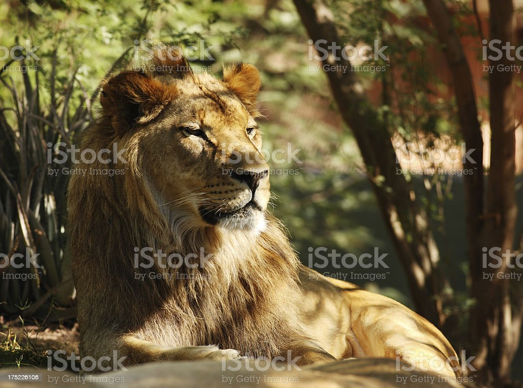 African Lion Panthera leo Felidae royalty-free stock photo
