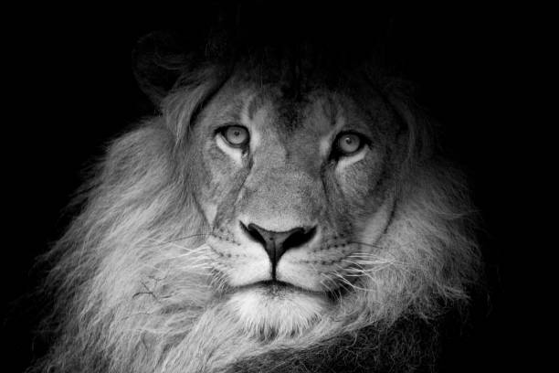 Best Black And White Lion Stock Photos, Pictures & Royalty ...