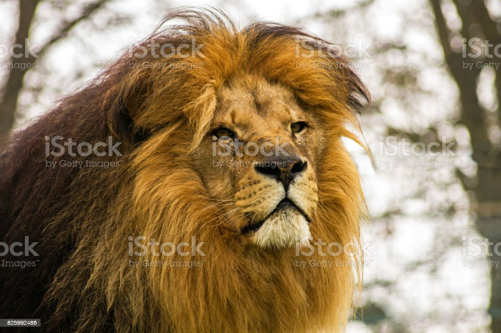 African Lion. stock photo