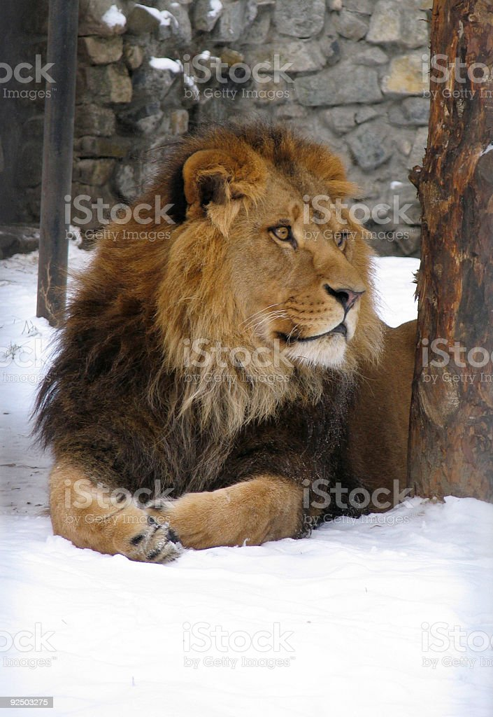 African lion royalty-free stock photo