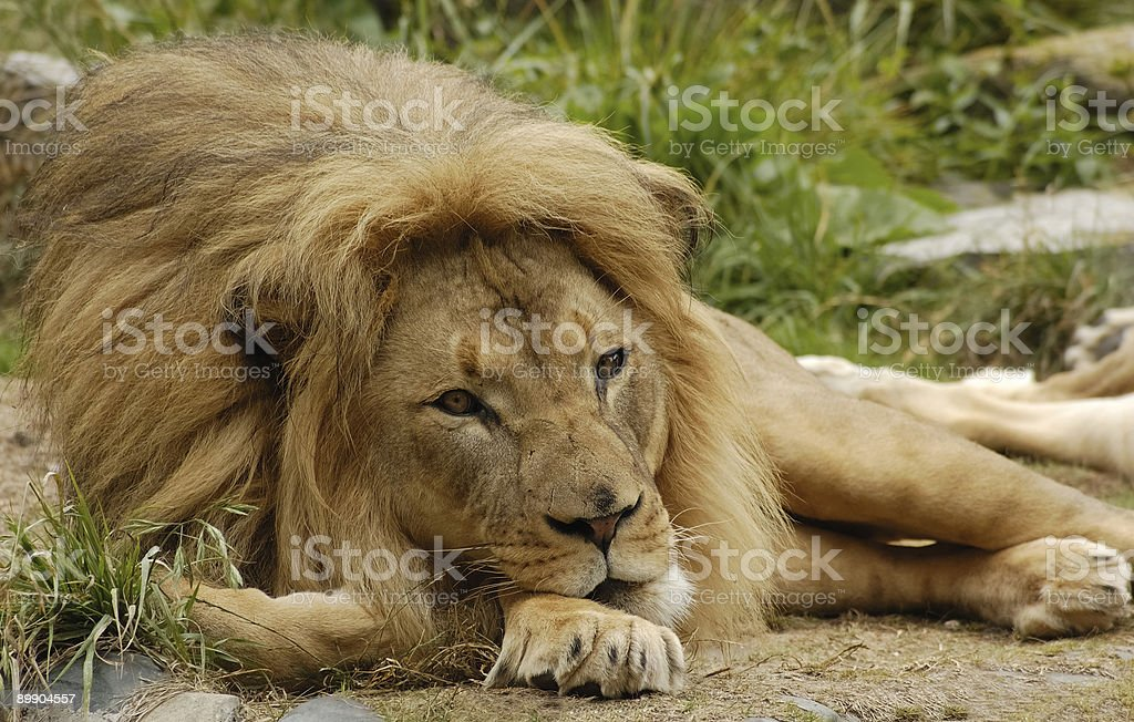 African lion portrait 2 royalty-free stock photo