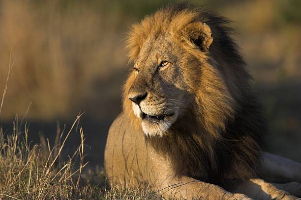 African lion resting under the sun stock photo