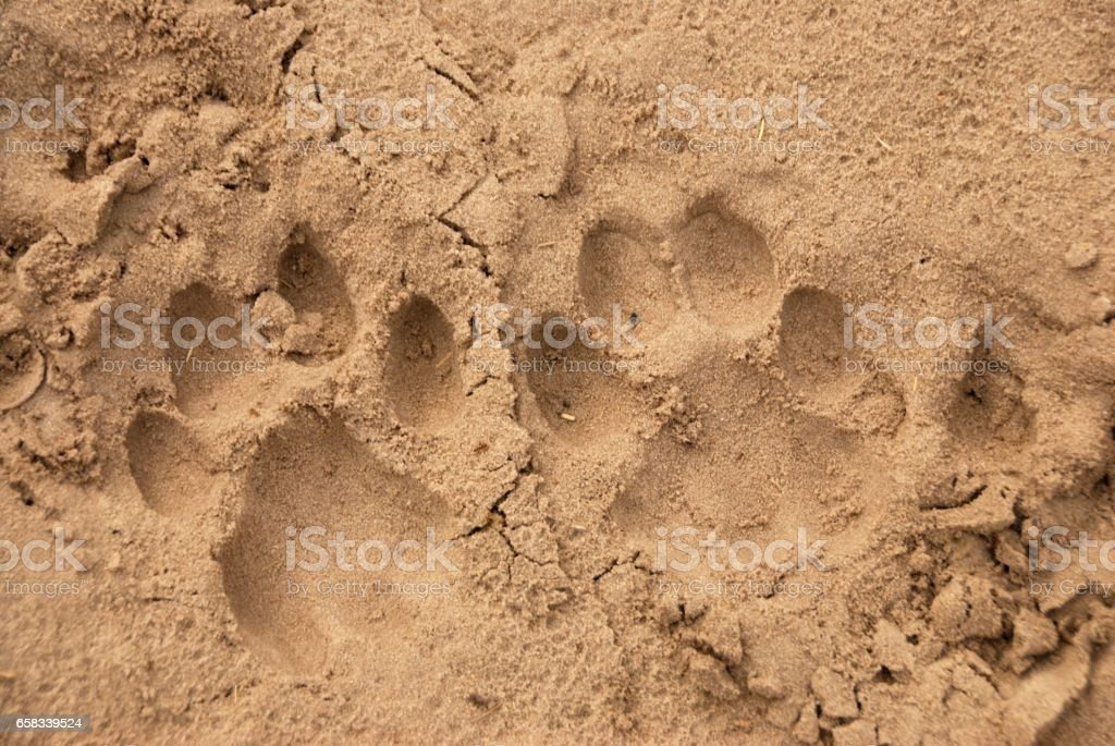 African Lion tracks stock photo