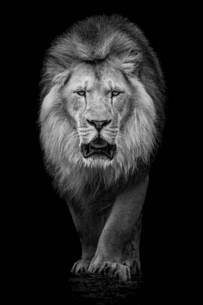 African Lion VII stock photo