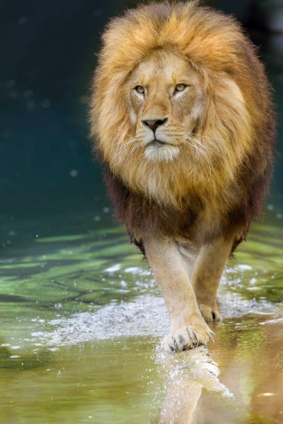 royalty free male lion walking pictures images and stock photos