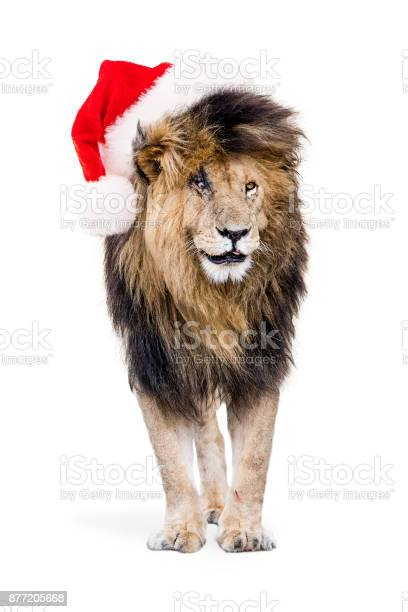African lion wearing christmas santa hat picture id877205668?b=1&k=6&m=877205668&s=612x612&h=vjpcqbnkc mvpnir6vzcfhsw gf5a0otphsfpcfjfqu=