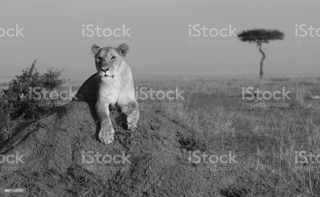 Afrikaanse Leeuwin zittend op een termiet heuvel met een acacia boom in de verte. royalty free stockfoto