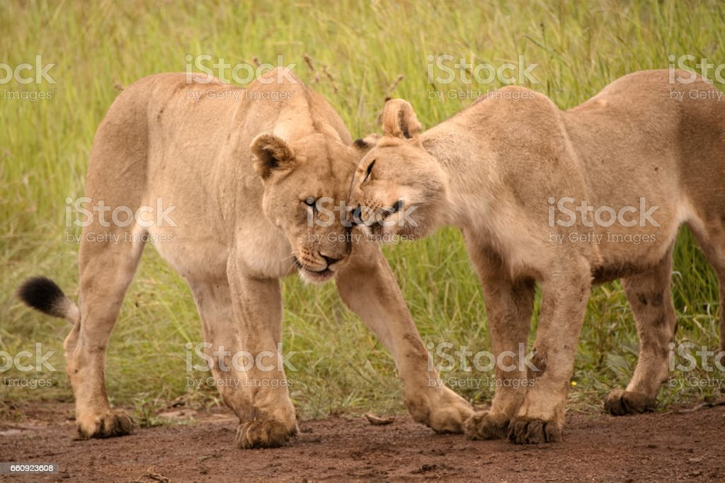 African lionesses and sub adult male stock photo