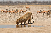 a Lion drinks from a waterhole in Southern Africa