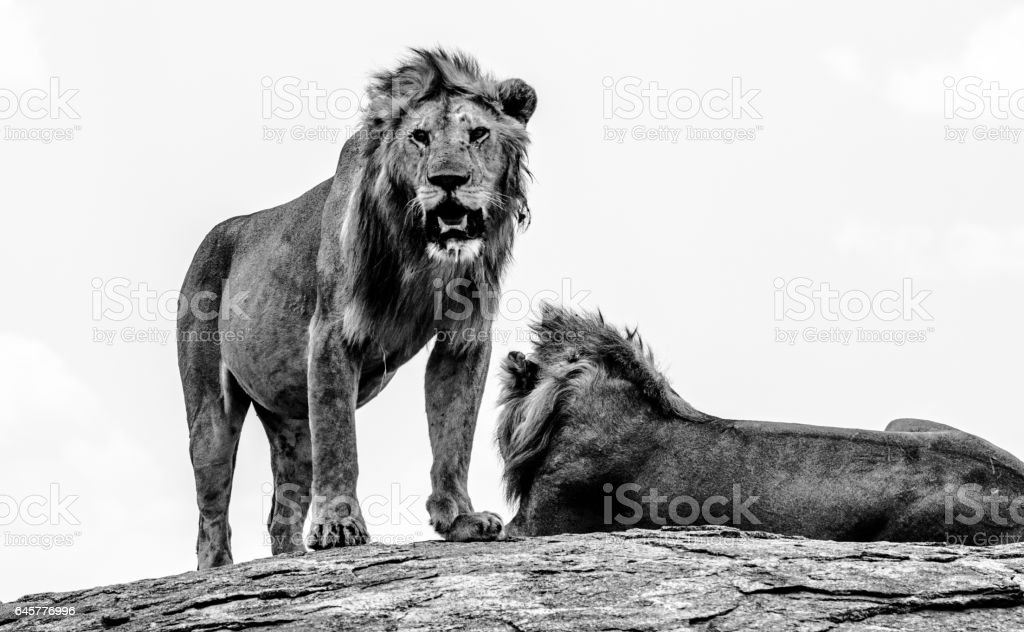 African Lions stock photo
