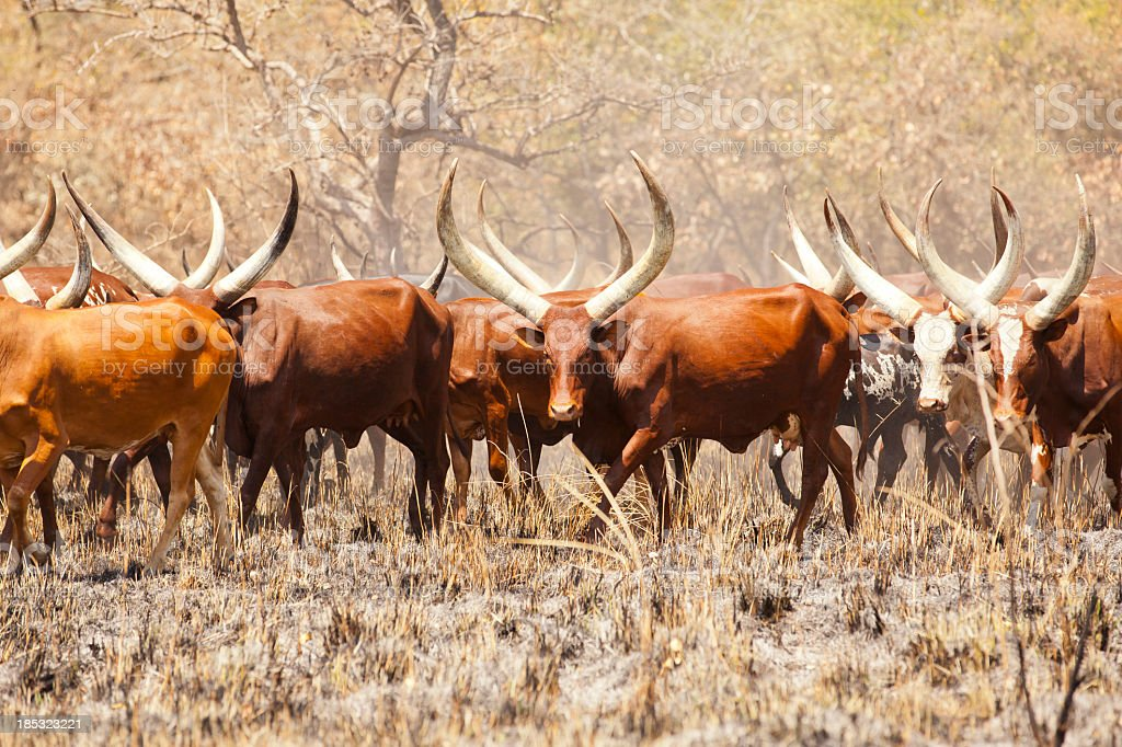 African Long-Horned Ankole Cattles at Rhino Sanctuary Area royalty-free stock photo