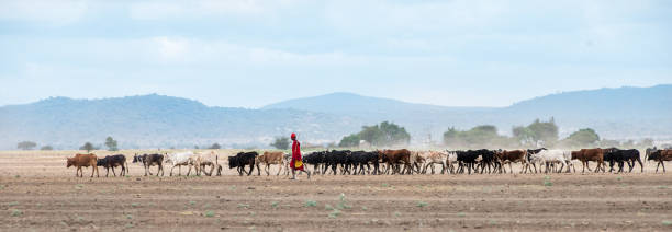 African Maasai Cow Herder in Arusha, Tanzania stock photo