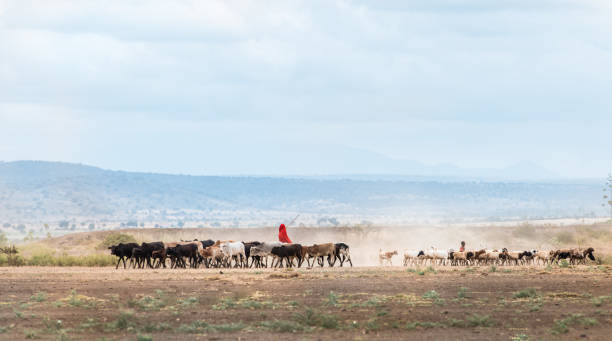 African Maasai Cow Herder stock photo