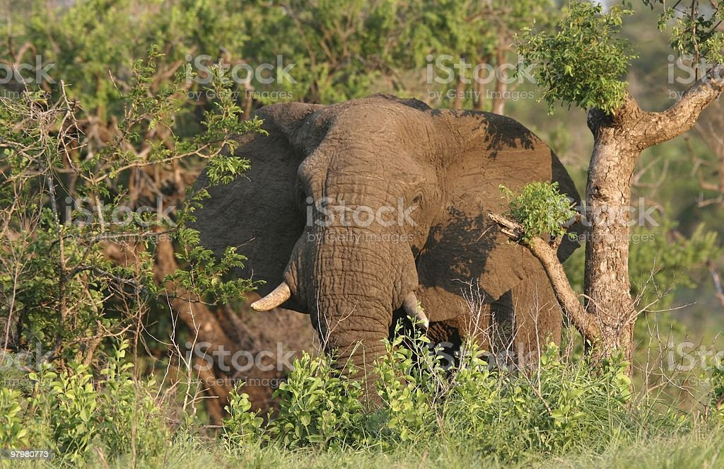 African Male Elephan royalty-free stock photo
