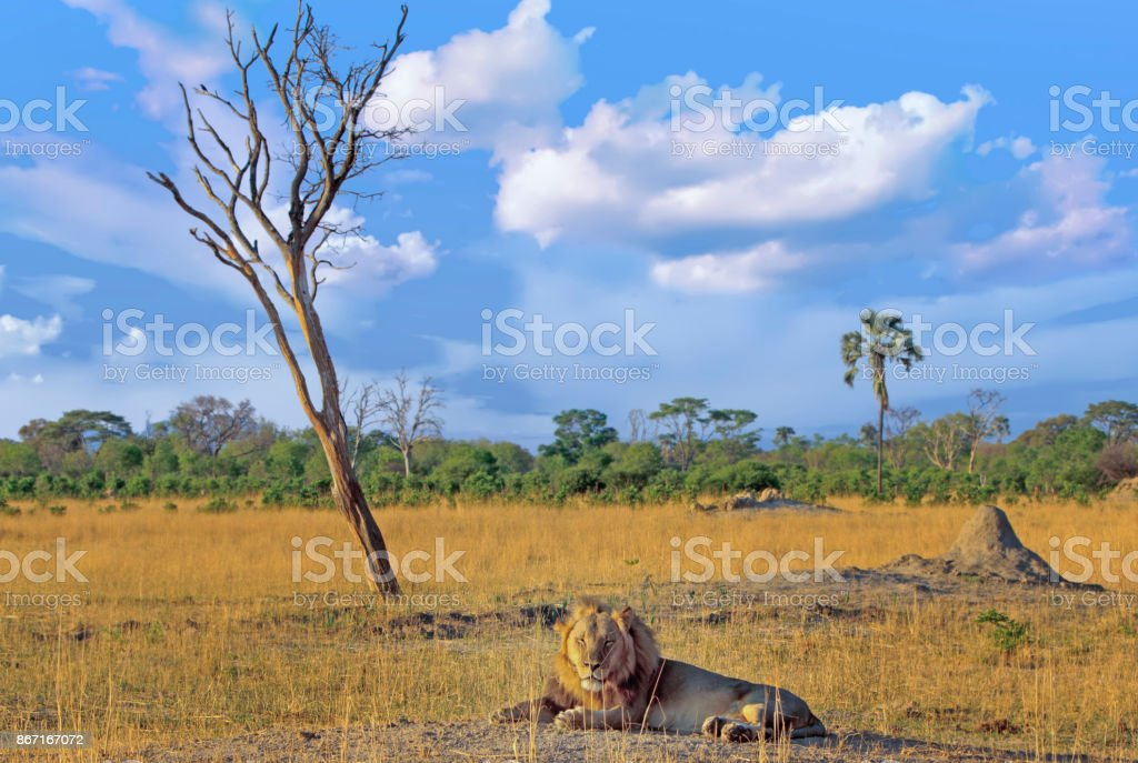 African Male Lion resting on the African Plains in Hwange, Zimbabwe stock photo