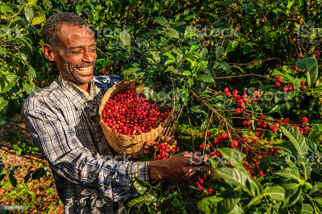 African man collecting coffee cherries, East Africa stock photo