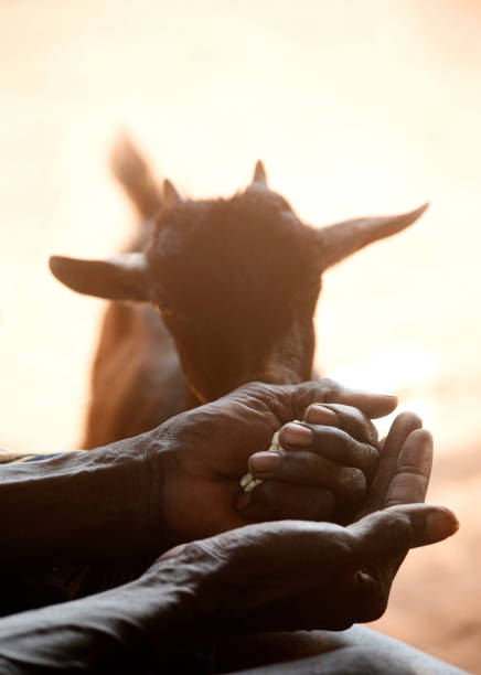 african man feeding  a goat stock photo