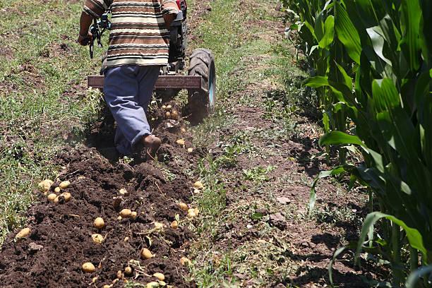 African Man Harvesting Potatoes