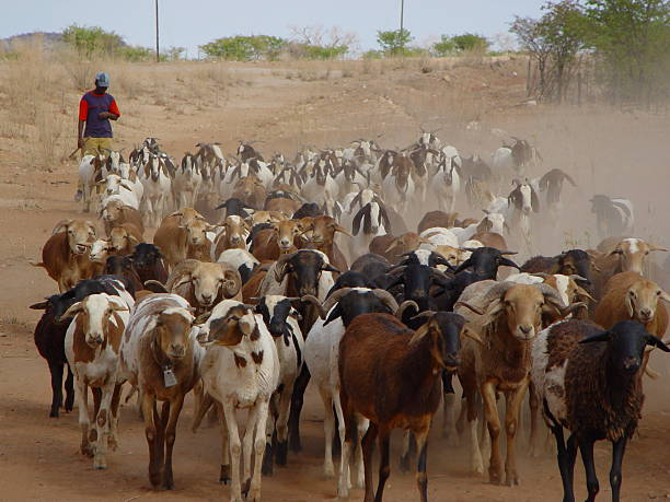 African man herding goats Namibia stock photo