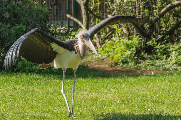 "African Marabou ""adjutant"" birds adjutant stock pictures, royalty-free photos & images"