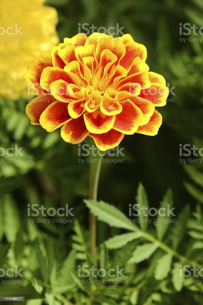 African marigold flower stock photo