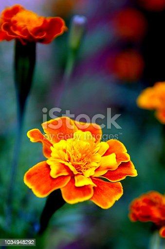 close up african marigold maroon