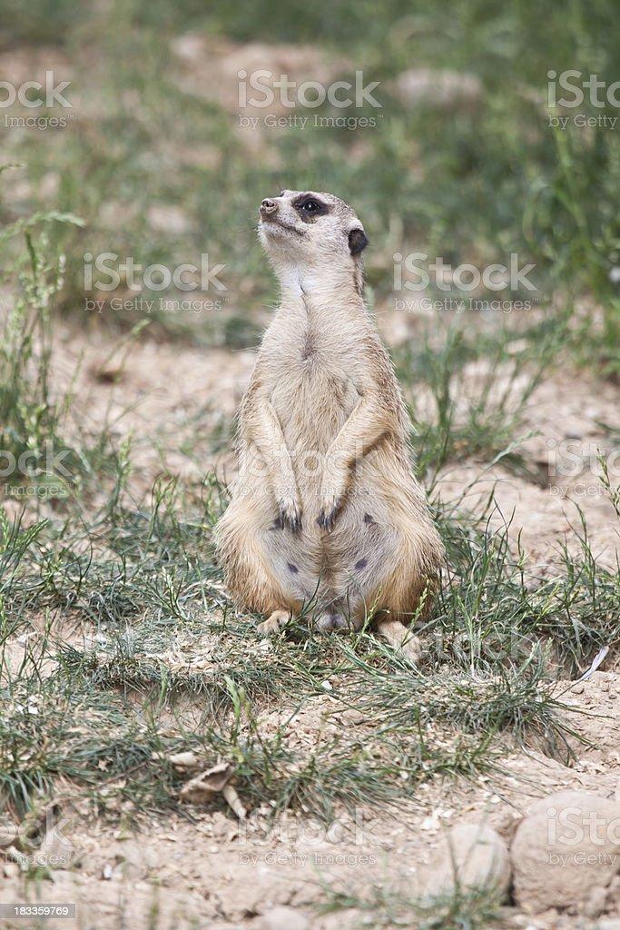 African Meerkat stock photo