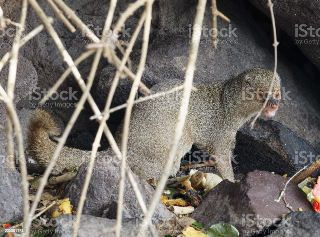 African mongoose in Caribbean stock photo