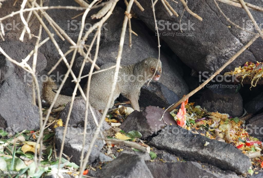 african mongoose searching for food stock photo