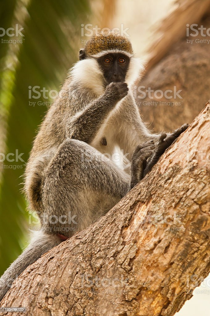 African monkey royalty-free stock photo