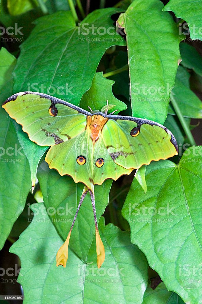 African Moon Moth (Argema mimosae) stock photo