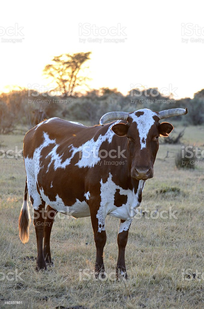 African Nguni cow at sunrise stock photo
