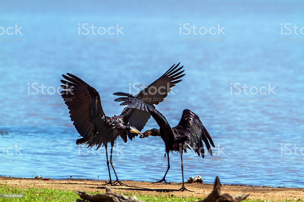 African openbill in Kruger National park, South Africa stock photo