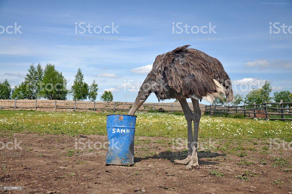 Africano avestruz esconder la cabeza en la arena - foto de stock