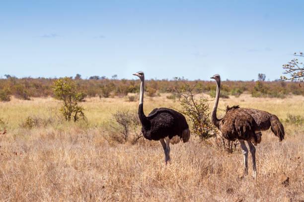 Autruche d'Afrique dans le parc National Kruger, Afrique du Sud - Photo