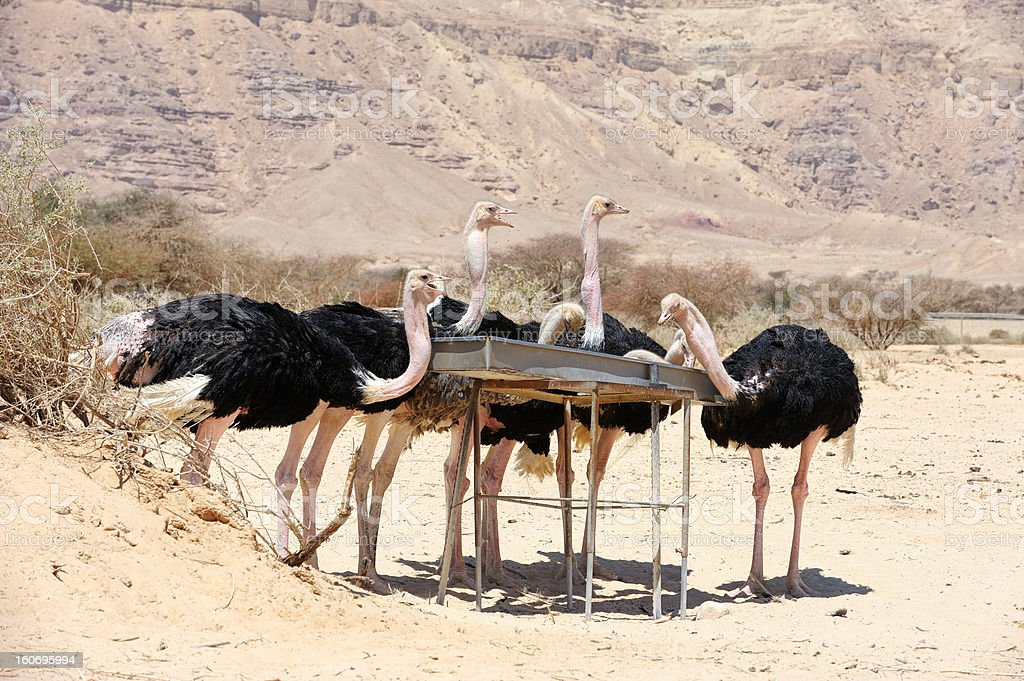 African ostrich royalty-free stock photo
