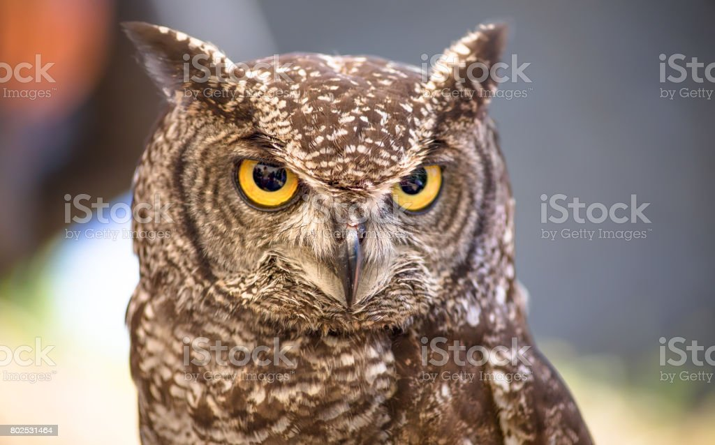 African owl portrait stock photo